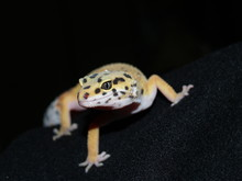 Black Spotted Gecko