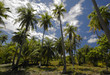 cocotiers à tahiti