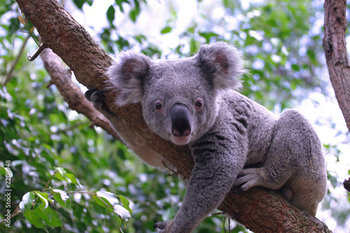 Recess Fitting Koala koala