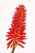 Fleur Rouge Aloe