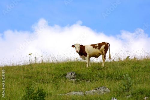 vache Canvas Print
