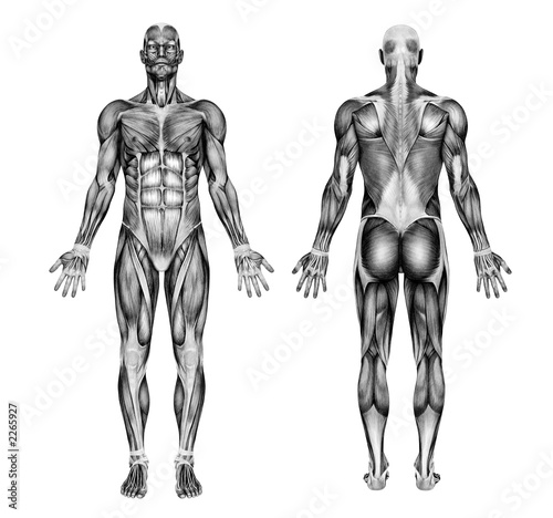 Fotografie, Obraz male muscles - pencil drawing style - 3d render
