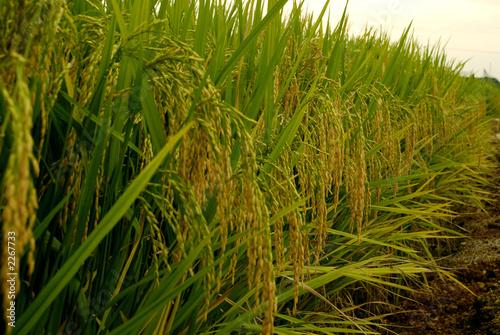 Fotografie, Obraz rice paddy