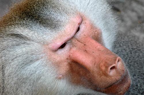 monkey face Wallpaper Mural