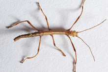 Very Young Walking Stick