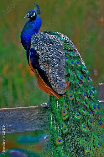 Fototapeta premium it's peacock