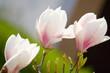 ao_060427_0824.cr2.dng magnolia