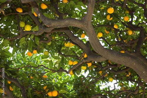 Valokuvatapetti under the lemon tree