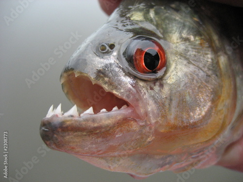 Photo  piranha in amazonien