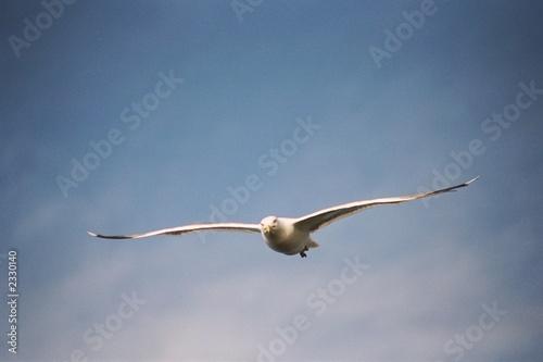 Fotografía  sea gull in flight. baykal series, 2003