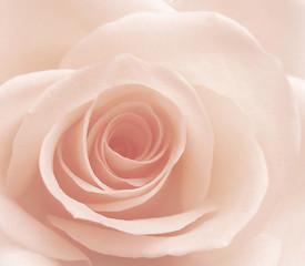 Fototapeta Do dentysty rose