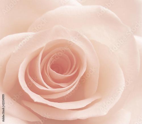 rose - 2354999