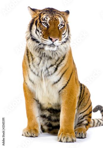 Foto-Stoff - tigre assis (von Eric Isselée)