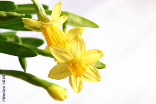 In de dag Narcis yellow daffodils