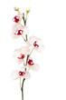 Leinwandbild Motiv white orchid isolated on white background