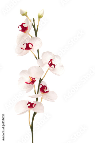 Doppelrollo mit Motiv - white orchid isolated on white background (von MAXFX)