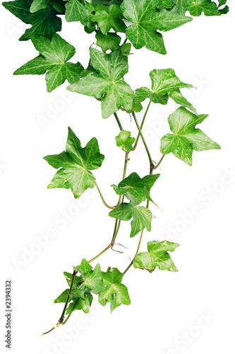 Foto-Duschvorhang - green ivy (von Kateryna Larina)