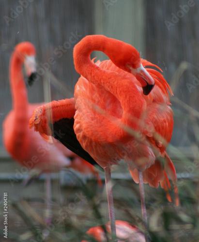 Garden Poster Flamingo flamands roses
