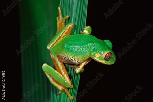 Fotobehang Kikker forest tree frog