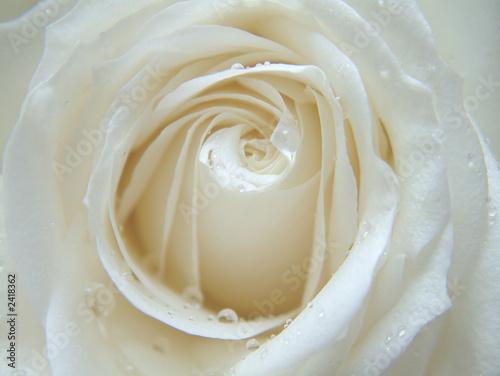 rose blanche Wallpaper Mural