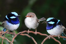Superb Blue Fairy Wrens Perchi...