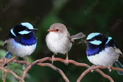 Fotografie, Obraz  superb blue fairy wrens perching together