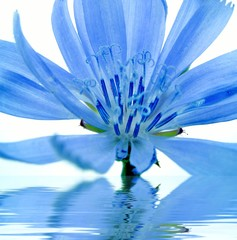 blue flower reflected in water