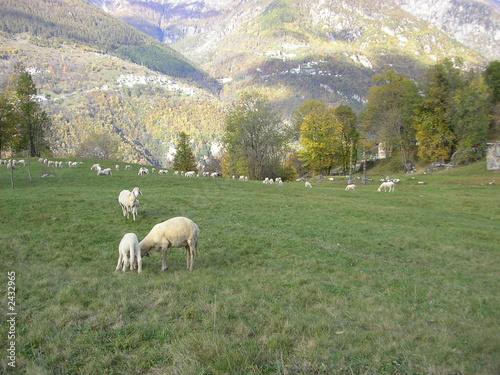 Fotografia, Obraz  pecore