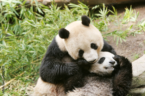 Photo panda bear and cub