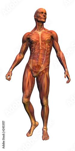Obraz na plátně anatomy - male musculature with skeleton