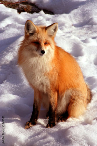 Fotografia red fox 13