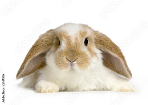 Slika na platnu lapin bélier sur fond blanc