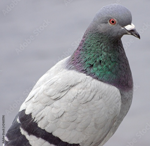 Photo  pigeon