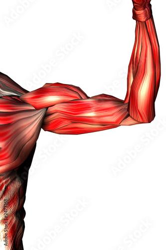 musculos de los brazos Canvas Print
