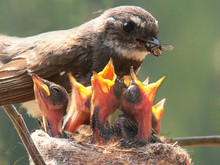 Grey Fantail And Chicks