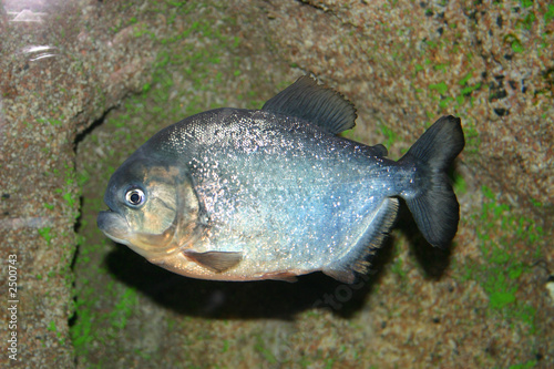 piranha fish - Buy this stock photo and explore similar images at