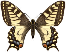 Yellow Butterfly Machaon.