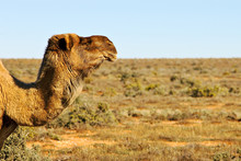 Camel Looking Over The Desert