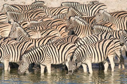 In de dag Zebra zebraherde am wasserloch