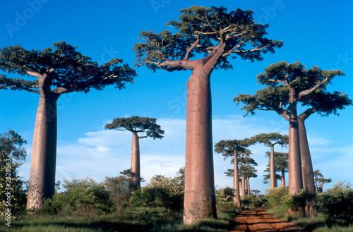 Staande foto Baobab allée des baobabs à morondava, madagascar