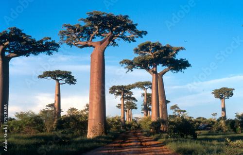 In de dag Baobab allée des baobabs à morondava, madagascar