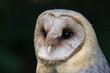 common barn owl portrait