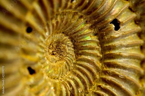 fossile di ammonite Wallpaper Mural