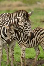 Young Zebra And Mum