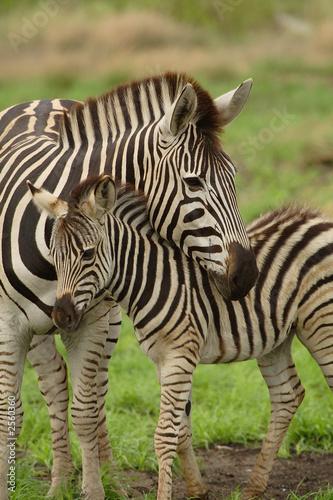 In de dag Zebra young zebra and mum