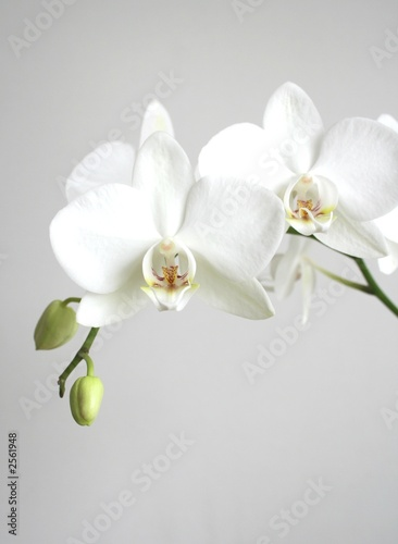 Garden Poster Orchid white orchid