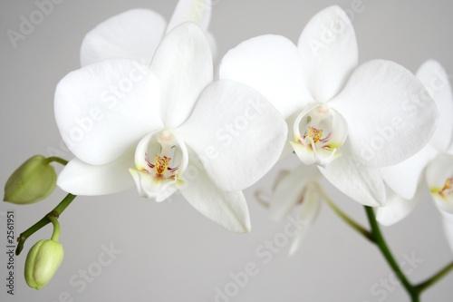 Fototapeta premium biała orchidea