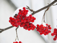 Ashberry   Snow