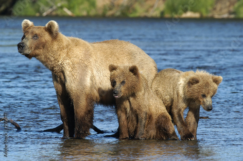 Tela brown bear sow with cubs standing in river