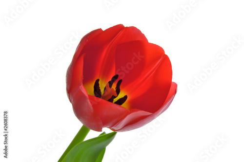 Foto auf Gartenposter Tulpen red tulip